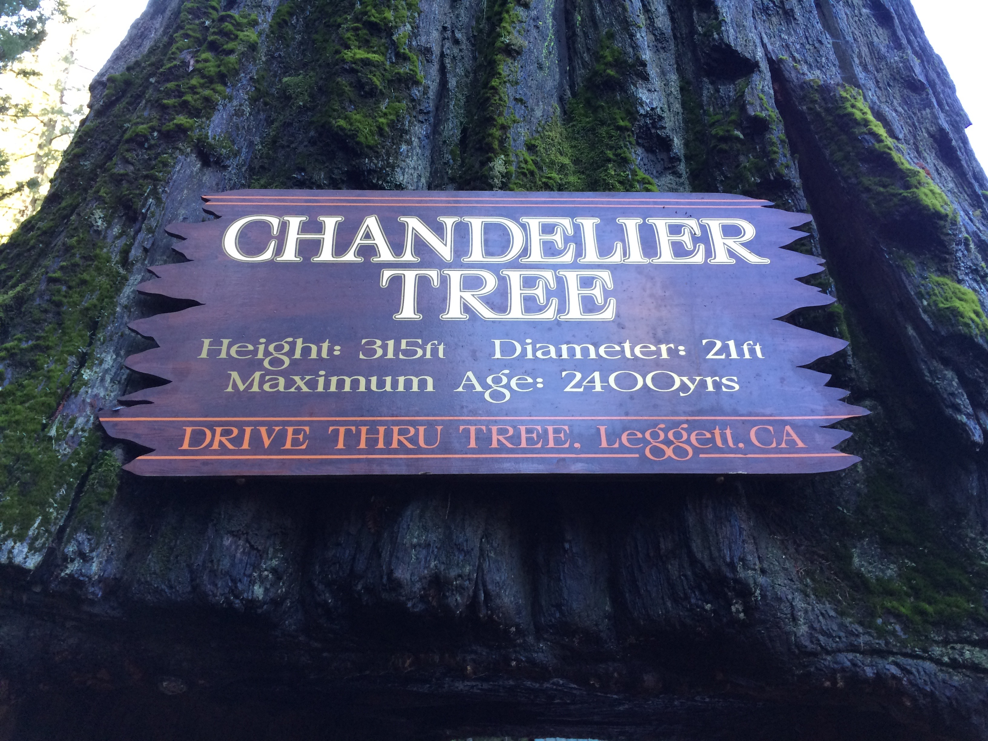 World famous chandelier tree california curiosities arubaitofo Choice Image