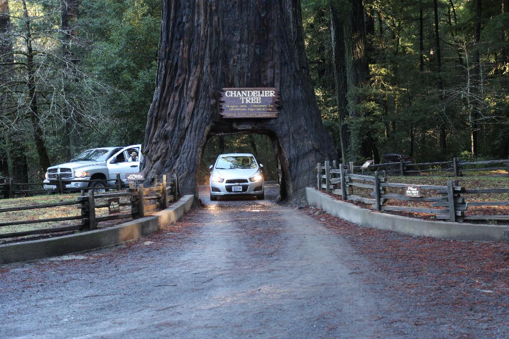 World Famous Chandelier Tree | California Curiosities